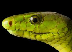 photo by @joelsartore | A venomous Eastern #green mamba at Reptile Gardens near Rapid City #SouthDakota. Check out my feed for more members of the #PhotoArk! #joelsartore #photooftheday #snake by natgeo