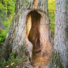 Hollow tree #getoutside #explorenature #autumnwalk #hollowtree by quintessence_of_life