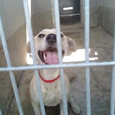 URGENT ~ ADOPT ~ Adorable DAISY ID#: A1375656 Golden Girl!! Puppy Smile!! ~ SHARE ~ PLEDGE!  She's gorgeous, super friendly and gentle. Weighs about 35 lbs. Under a year old, unspayed female Lab, a stray at South Los Angeles Shelter. South LA Shelter, 1850 S. 60th St., Los Angeles, CA 90047 213-485-0214/0227/0303 Available to Adopt or Rescue  https://www.facebook.com/photo.php?fbid=137360169768766=pcb.137361716435278=1
