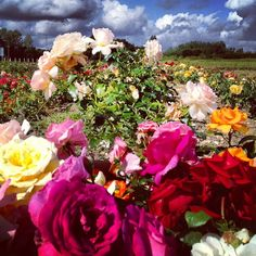 Choosing roses to photograph in the studio . Sadly this is not my garden. - @showstudio_nick_knight- #webstagram
