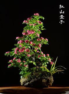紅山査子の石付盆栽と鉢植え Hawthorn, Beni-Sanzashi, bonsai on a rock 2014.5.11 & 2014.5.6 撮影