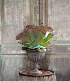 An uncommon indoor plant: the Paddle Plant (Kalanchoe thyrsiflora).     #gardening #houseplants