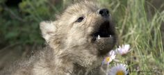 paintings wolf and cubs howling - Yahoo Image Search Results