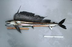 Alepisaurus ferox, or the long-snouted lancet fish. Love the pattern and shape of the top fin.