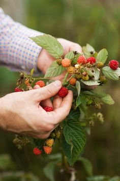 .This was my mom who would pick wild black raspberries as long as she could find more.  I'm just like her!