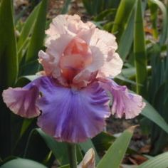 Iris 'Florentine Silk' All Things Plants
