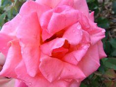 El cultivo de las rosas no es sencillo, son plantas que requieren sus atenciones pero que con un poco de cuidado nos lo agradecerán muy bien con sus fastuosas floraciones. Con seguir estos sencillo…