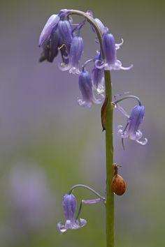 Hallerbos 2009 - Hyacinthoides non-scripta - Common Bluebell - Boshyacint - Wilde hyacint
