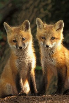 12 Cute Animal Pictures To Save As Your iPhone Wallpapers - animal wallpaper Fox Pictures, Baby Animals Pictures, Cute Animal Pictures, Animals Images, Cute Baby Animals, Animals And Pets, Farm Animals, Tier Wallpaper, Animal Wallpaper