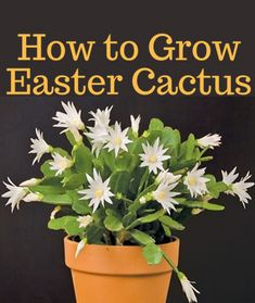 Easter Cactus bloom in many cheery colors and the flowers arrive in profusion from March until May. Learn how you can grow and care for Easter Cactus