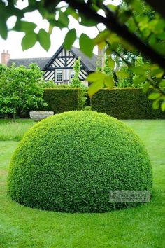 A perfect topiary dome.