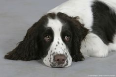 English Springer Spaniel, puppy, 6 month….SO BEAUTIFUL AND HAS THOSE DROOPY EYES - AH...