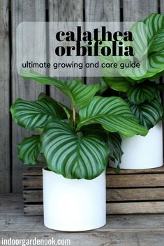 Calathea Orbifolia is one of those plants that every gardener should know about. It's easy to take care of, and it doesn't take green thumb in order to have it thrive. So, feel free to check this guide on growing Calathea Orbifolia indoors. Fake Plants, Small Plants, Green Plants, Calathea Orbifolia, Indoor Flowers, Easy Care Indoor Plants, Citrus Garden, Garden Nook, Mother Plant