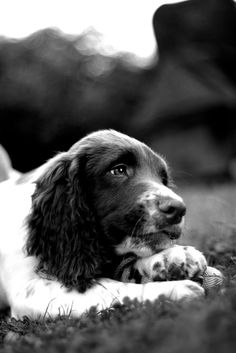 Springer Spaniels have a special place in my heart.........~ <3 ~