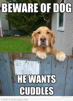 Beware Of Dog He Wants Cuddles cute animals dogs adorable dog puppy animal pets funny animals funny pets funny dogs Love My Dog, Cute Puppies, Cute Dogs, Dogs And Puppies, Doggies, Boxer Puppies, Funny Animal Pictures, Funny Animals, Cute Animals With Funny Captions