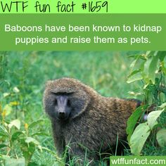 How's this for nature gone wild? Baboons sometimes kidnap puppies and raise them as pets. #WTFFunFact
