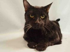 **TBD UNKNOWN STATUS 01/15/16**  BEGINNER SWEETIE BEAR IS A 14 YEAR OLD SENIOR WHO WAS DUMPED AT THE SHELTER DUE TO HIS OWNER'S HEALTH - NOW HE CAUGHT A COLD AND THE EASIEST THING FOR THE ACC TO DO IS KILL HIM! BEAR came into the shelter with his housemate Kiara A1062533 who is also a senior and blind in one eye. BEAR also has need of vetting for some dental issues which is typical of cats his age. But this big love bug was said to live with adults teens and a 2 yr old and was affectionate…