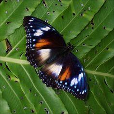 butterfly (australia - Kuranda)