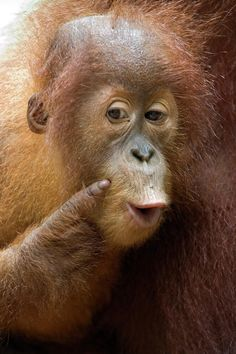 Give me a kiss, right here...  Sumatran Orangutan
