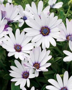 Check out the center of this daisy by Radiant Orchid flower color ! SOPRANO® WHITE (Osteospermum) offers outstanding heat tolerance, a compact habit and nonstop flowers spring through fall. Blossom Garden, Simple Centerpieces, Candle Centerpieces, Wedding Centerpieces, White Plants, Home Garden Plants, Annual Flowers, Annual Plants, White Gardens