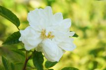 11 Shade Tolerant Roses: Aimee Vibert