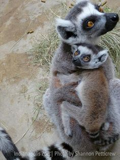 Ring-tailed lemur mom Bree and her newest baby are so sweet together as they go out to enjoy a beautiful spring day!