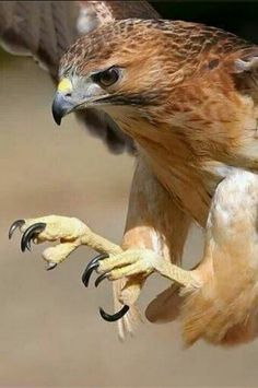 Hawk-The POWER of their talons (feet), eyes, and wings make the Raptors/Bird of Prey mighty birds. All Birds, Birds Of Prey, Love Birds, Beautiful Birds, Animals Beautiful, Photo Animaliere, Red Tailed Hawk, Tier Fotos, Mundo Animal