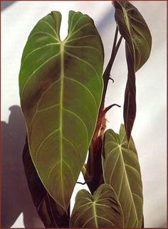 Philodendron melanochrysum ou andreanum