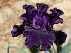 TB Iris germanica 'Noble Gesture' (Keppel, 2009)