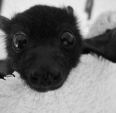 Heres a cute bat. Have a nice day. (Tag a friend so they may also have a bat) Cute Little Animals, Cute Funny Animals, Baby Animals Pictures, Animals And Pets, Beautiful Creatures, Animals Beautiful, Pillos, Cute Bat, Cute Baby Bats