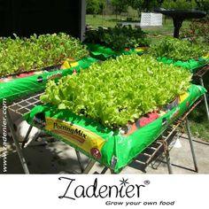 #Growing #lettuce can very easily.  www.zadenier.com