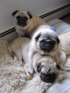 3 little Puggies sitting in the tree.....