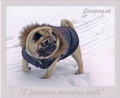 Pug in black jacket winter walking at Tallinn