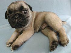 i want to hug this pug