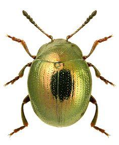 Phaedon levigatus