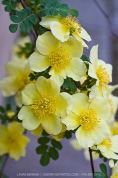 Yellow Incense Rose (Rosa primula) is a medium-sized shrub rose forming thin arching branches which bear early, small, single, soft-yellow f...