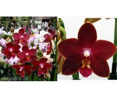 "Phalaenopsis ""Красный Феникс"" Table Dance Longlife 'Tying Shin Phoenix Rood'"