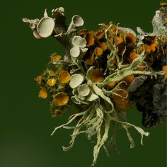 Lichens on the end of a twig Natural Forms, Natural Wonders, Plant Fungus, Mushroom Fungi, Patterns In Nature, Botany, Herbalism, Nature Photography, Stuffed Mushrooms