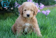 Just imagine all of the fun & adventures you can have with this adorable Mini Labradoodle puppy. Brown Labradoodle, Mini Labradoodle Puppy, Labradoodle Puppies For Sale, Cavapoo Puppies, Bear Dog Breed, Teddy Bear Dog, Dog Breeds, Miniature Australian Labradoodle, Cute Puppies For Sale
