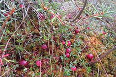 Jõhvikad / Cranberries / Oxycoccus palustris by Minest Retked World Wetlands Day, World Water Day, Cranberries, Search, Research, Searching
