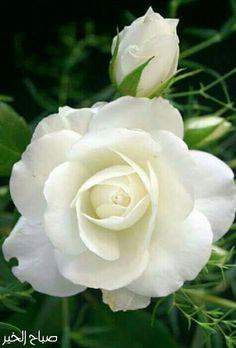 Beautiful Rose Flowers, Love Rose, Flowers Nature, Amazing Flowers, My Flower, White Flowers, Beautiful Flowers, Flower Power, Growing Roses