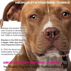 Do you know the difference between the American Staffordshire Terrier, the Staffordshire Bull Terrier and the Pit Bull? It can be confusing, but think size - bigger is usually the American Staffordshire.