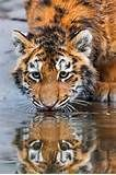 At the surface of the water. Photo by Tambako the Jaguar # Tiger # Wildlife # Big cat # Animals # Beauty Big Cats, Cats And Kittens, Cute Cats, Beautiful Cats, Animals Beautiful, Animals And Pets, Cute Animals, Wild Animals, Baby Animals