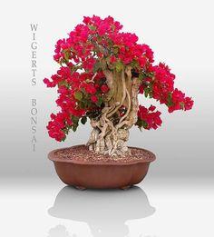 Bougainvilla red