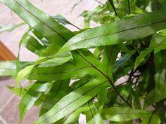 【楽天市場】ミクロソリウム【7寸】【観葉植物 シダ インテリア グリーン 植物 珍しい 希少】:イン ナチュラル 楽天市場店