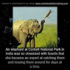 An elephant at Corbett National Park in India was so obsessed with lizards that she became an expert at catching them and tossing them around for days at a time.