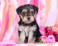 Morkie puppies: Lancaster Puppies has morkie puppies for sale. The Morkie dog is a playful, designer breed. Get a morkie puppy here. Cute Little Puppies, Puppy Love, Animals Dog, Cute Animals, Morkie Puppies For Sale, Lancaster Puppies, Fun Loving, Mans Best Friend, Craft Projects