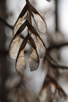 Maple Seeds by kasia-aus - Katarina Christenson Maple Seed Tattoo, Seed Pods, Natural Forms, Natural Texture, Macro Photography, Glass Photography, Organic Shapes, Nature Photos, Dried Flowers