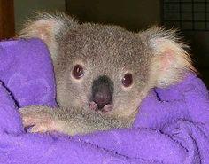 Cute Baby Koala | cute-baby-koala.jpg