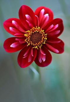 ~~The Perks of being Beautiful   Lakeview Redeye dahlia, a deep red collarette dahlia that has a red center with yellow anthers. A truly gorgeous dahlia.   by Robin Evans~~